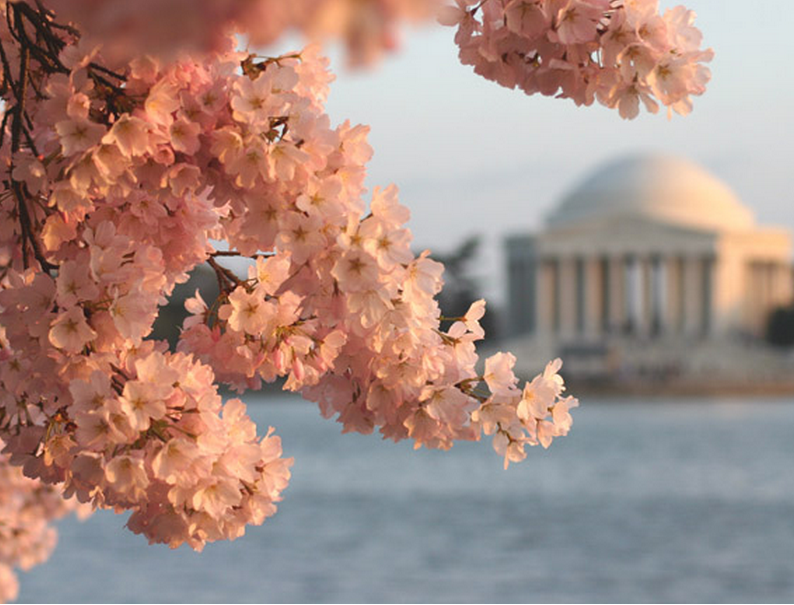 How to Visit the National Cherry Blossom Festival by Bike